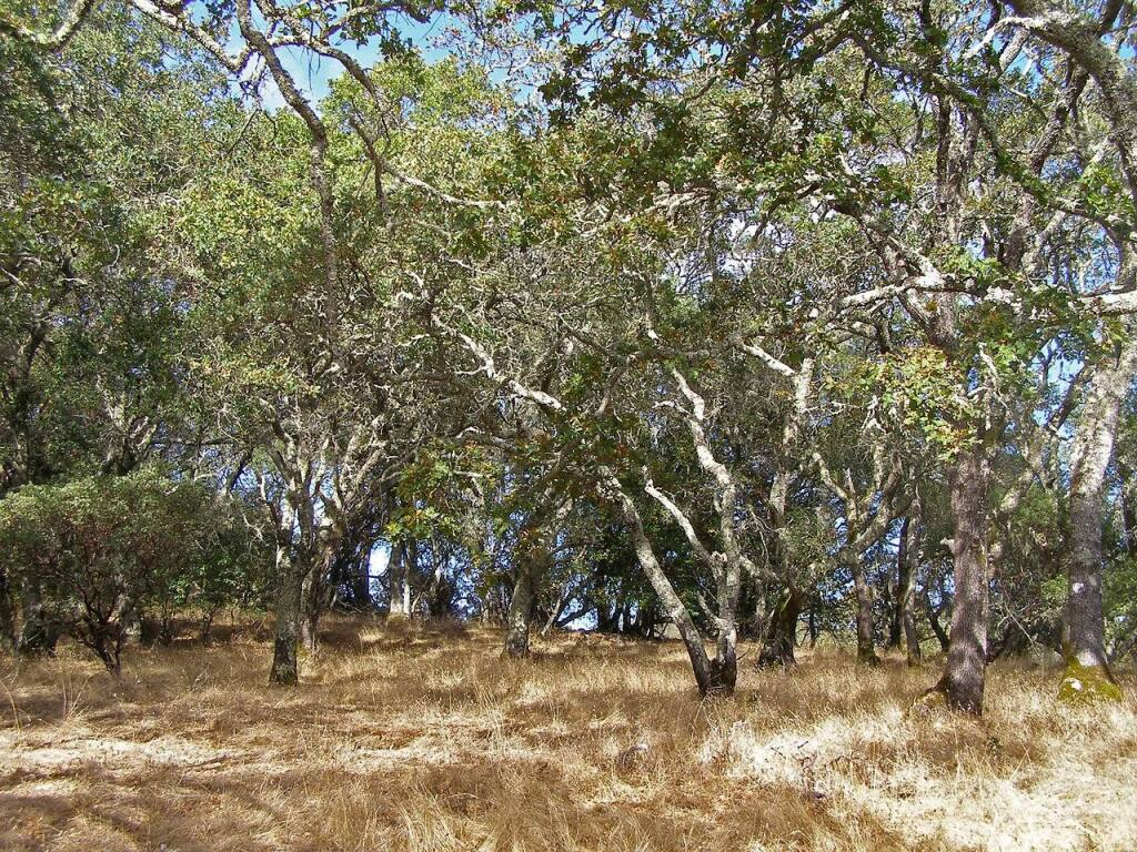 It's proven that mature forests store significantly more carbon than younger trees. Oak forests sequester carbon in the form of biomass, deadwood, litter and in forest soils. Photo provided.