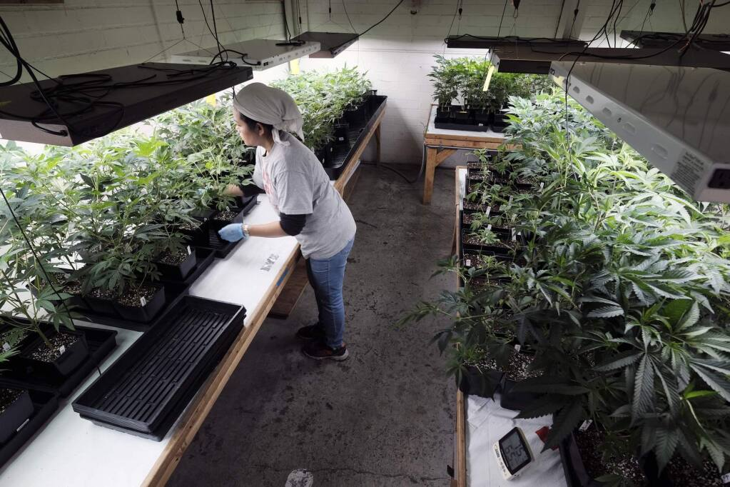 FILE - In this Dec. 27, 2018 file photo a grower at Loving Kindness Farms attends to a crop of young marijuana plants in Gardena, Calif. State budget documents released Thursday, May 9, 2019 show the Newsom administration is sharply scaling back what it expects to collect in cannabis tax revenue through June 2020 in all, a $223 million cut from projections just four months ago. (AP Photo/Richard Vogel, File)