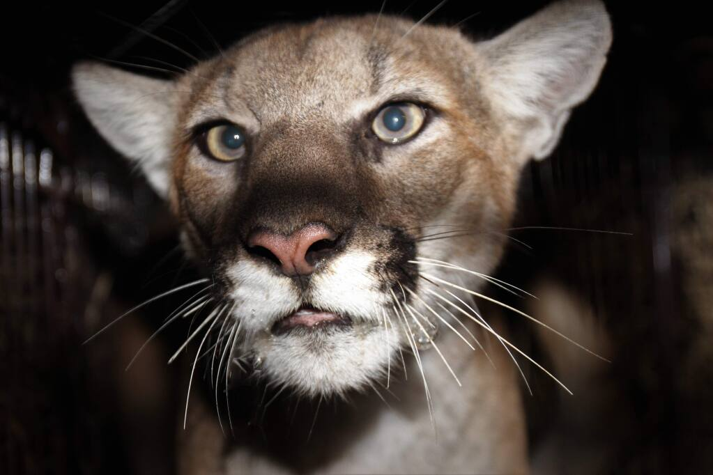 This Nov. 11, 2019, photo released by the National Park Service shows female mountain lion P-77 after she was photographed by a remote camera by National Park Service in the Simi Hills, northwest of Los Angeles. The National Park Service says it's added the new mountain lion to a long-term study of the big cats in Southern California. Officials announced Monday, Nov. 25, that the lion dubbed P-77 was captured, outfitted with a tracking collar and released where it was found in the Simi Hills. (National Park Service via AP)