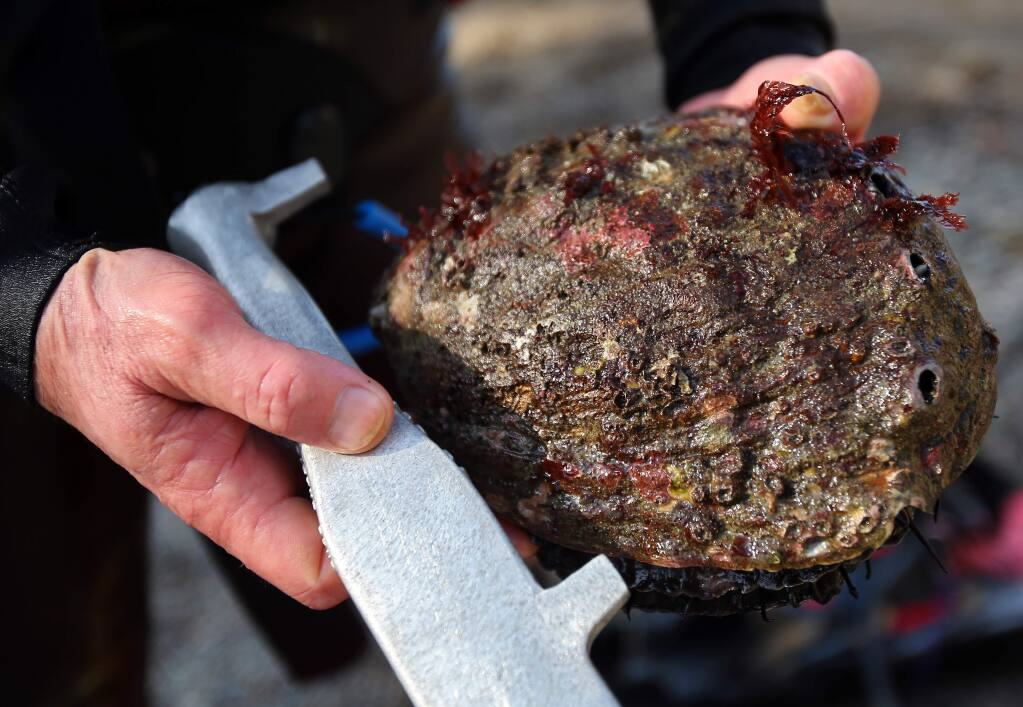 Konrad Koessel, of El Cerrito, displays one of the three abalone he took while diving in Timber Cove on Friday, April 3, 2015. (Christopher Chung/ The Press Democrat)