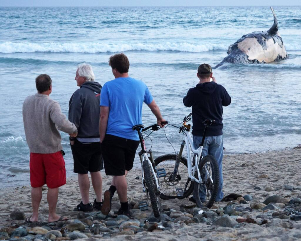 Beachgoers stop to look at a beached whale at Lower Trestles, a popular surf spot south of San Clemente, on Sunday, April 24, 2016. (Fred Swegles/The Orange County Register via AP)