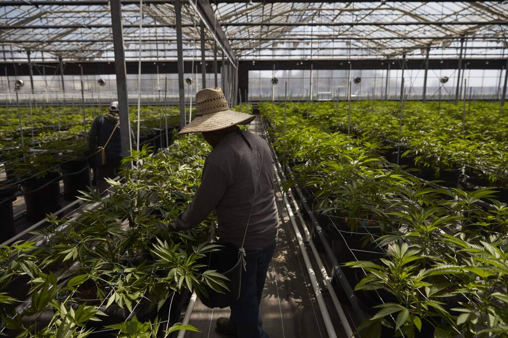 In this Thursday, April 12, 2018, photo, workers work in a greenhouse growing cannabis plants at Glass House Farms in Carpinteria, Calif. Carpinteria, about 85 miles (137 kilometers) northwest of Los Angeles, is located on the bottom of Santa Barbara County, a tourist area famous for its beaches, wine and temperate climate. It's also gaining notoriety as a haven for cannabis growers. The county amassed the largest number of marijuana cultivation licenses in California since broad legalization arrived on Jan. 1, nearly 800, according to state data compiled by The Associated Press. (AP Photo/Jae C. Hong)