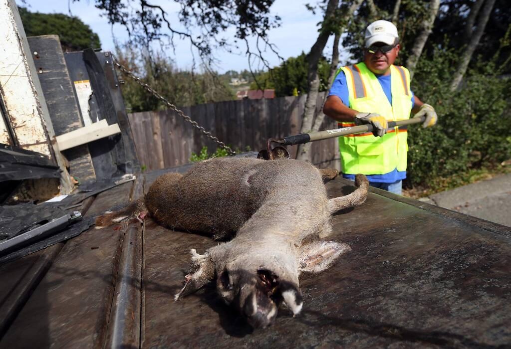 County roads worker Benny Huerta loads a dead fawn into the back of their truck on Watertrough Rd. in Sebastopol. (JOHN BURGESS / The Press Democrat)
