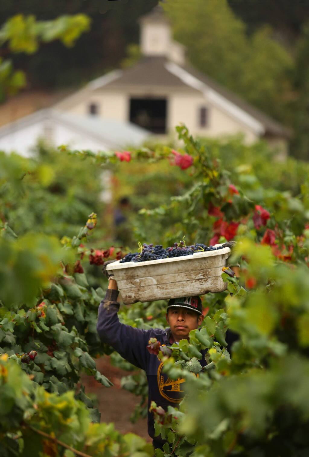 Workers run lugs filled with grapes at the Pagani Ranch along Hwy 12 in the Sonoma Valley. (John Burgess/The Press Democrat)