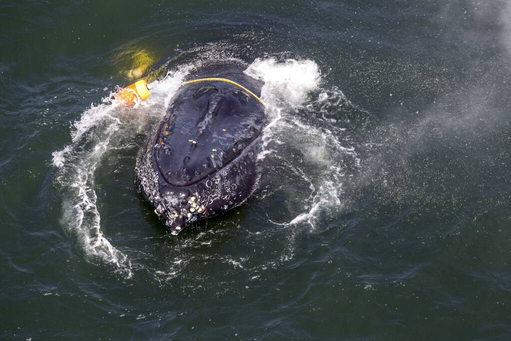FILE - This undated file photo provided by the National Oceanic and Atmospheric Administration shows a humpback whale entangled in fishing line, ropes, buoys and anchors in the Pacific Ocean off Crescent City, Calif. Rescuers freed the badly tangled whale July 18, 2017, after it had struggled for days against the weight dragging it to the ocean floor. An environmental group, the Center for Biological Diversity, wants the federal government to declare that California's crab fishing industry is dangerous to whales. The crabbing season opens Wednesday, Nov. 15, 2017. (Bryant Anderson/NOAA Fisheries MMHSRP Permit# 18786-01 via AP, File)