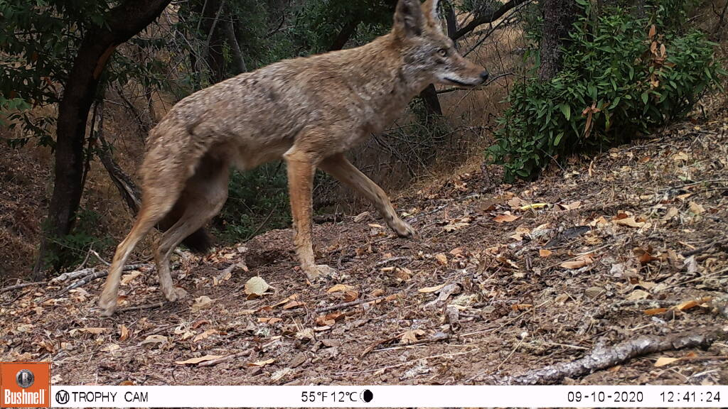 A coyote moves through Pepperwood Preserve in the Mayacamas Mountains on Sept. 10, 2020. (Pepperwood Preserve)