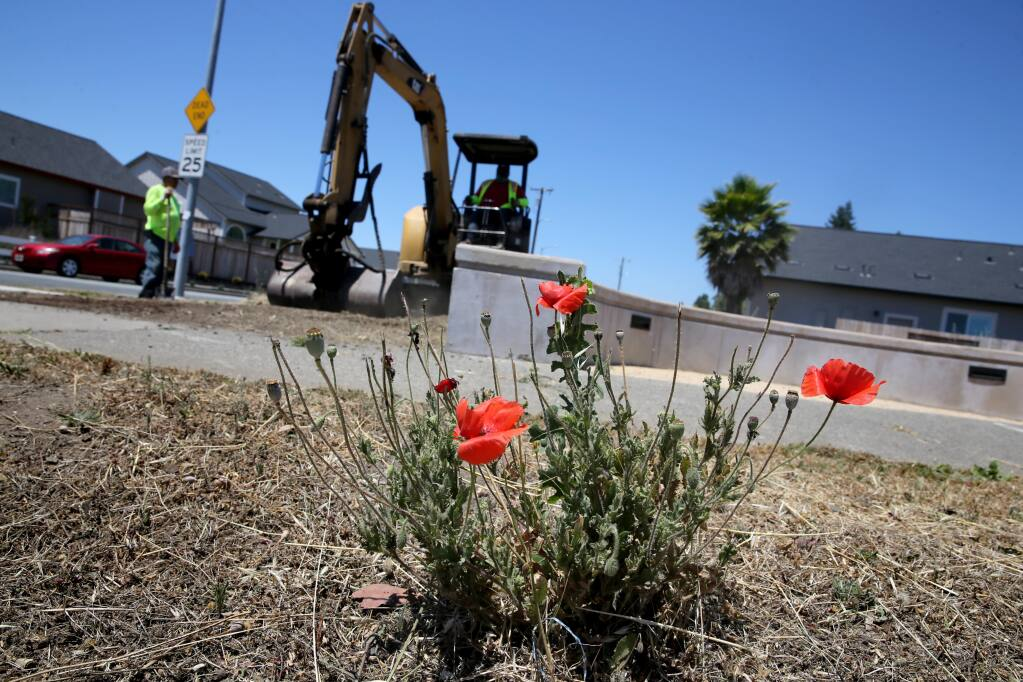 Poppies bloom on the northwest corner of Hopper Avenue and Coffey Lane as employees of PJM Landscape and Tree Care grade the dirt in Santa Rosa on Tuesday, June 23, 2020. (Beth Schlanker / The Press Democrat)