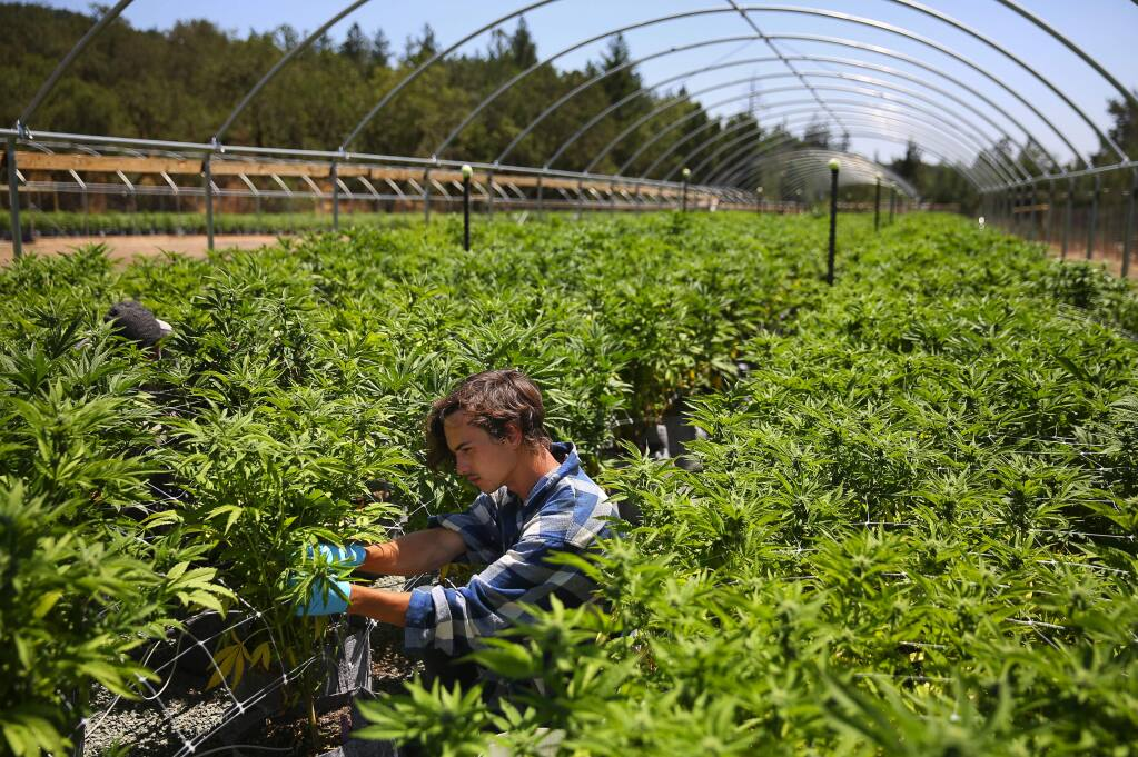 Skyler Galauski prunes the underbrush, and looks for hermaphrodite parts, on cannabis plants at the SPARC farm near Glen Ellen on Wednesday, July 19, 2017. (Christopher Chung/ The Press Democrat)