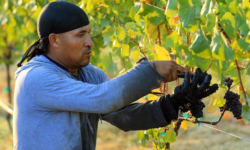 Workers pick the first grapes of the year, pinot meunier used to make champagne at Mumm Napa, at Green Island Vineyard in American Canyon. (John Burgess/The Press Democrat)