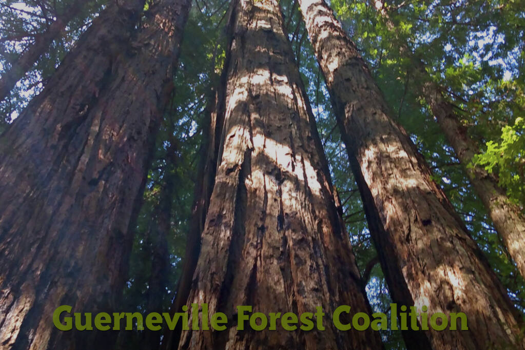 To raise awareness about the proposed logging called the Silver Estates Timber Harvest Plan and its impact, residents have created a group called the Guerneville Forest Coalition (GFC),