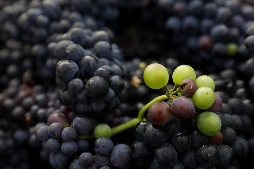 Pinot grapes harvested for a rose wine at Zio Tony Ranch in Sebastopol on Thursday, Aug. 30, 2018. (BETH SCHLANKER/ PD)