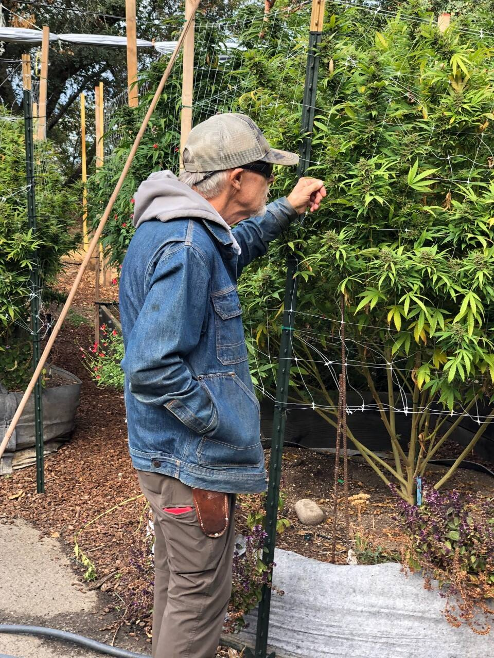 Benziger is growing three types of plants for Melrod's dispensary. Photo by Susan Wood