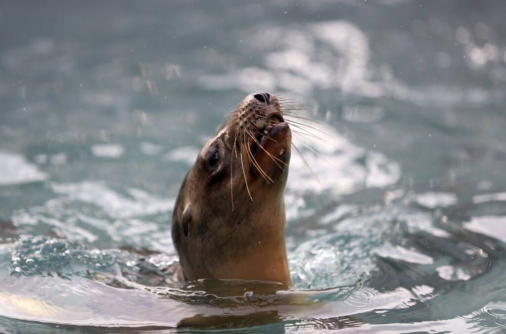 California sea lions swim at the Marine Mammal Center in Sausalito, Tuesday, February 3, 2015. (Crista Jeremiason / The Press Democrat)
