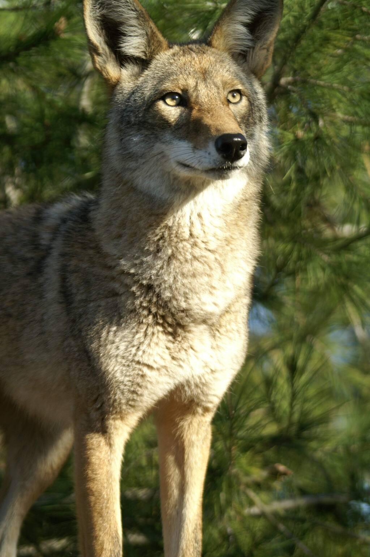 Coyotes and foxes grow thick winter coats. (KONICA MINOLTA DIGITAL CAMERA)