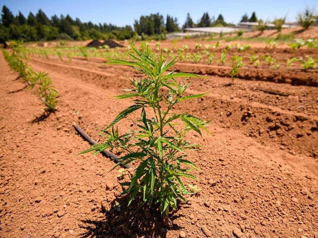 Hemp is a genetically distinct biotype of cannabis.