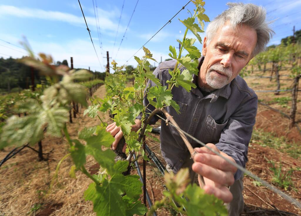 Mike Benziger dry farms wine grapes at the Benziger Family Vineyards in Glen Ellen, Friday April 24, 2015 and has managed, with the help of Mark Greenspan of Advanced Viticulture in Windsor to save up to 20 percent of his water usage with probes the company makes. (Kent Porter / Press Democrat) 2015