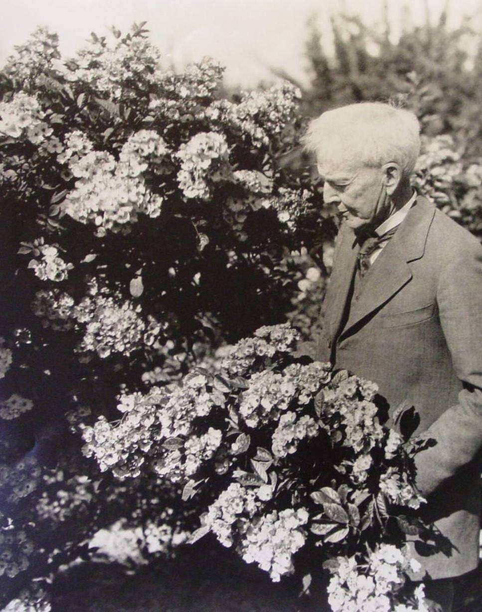 Luther Burbank stands among boughs of blossoms and foliage of the Gold Ridge Experiment Farm in Sebastopol, circa 1920. (Western Sonoma County Historical Society)