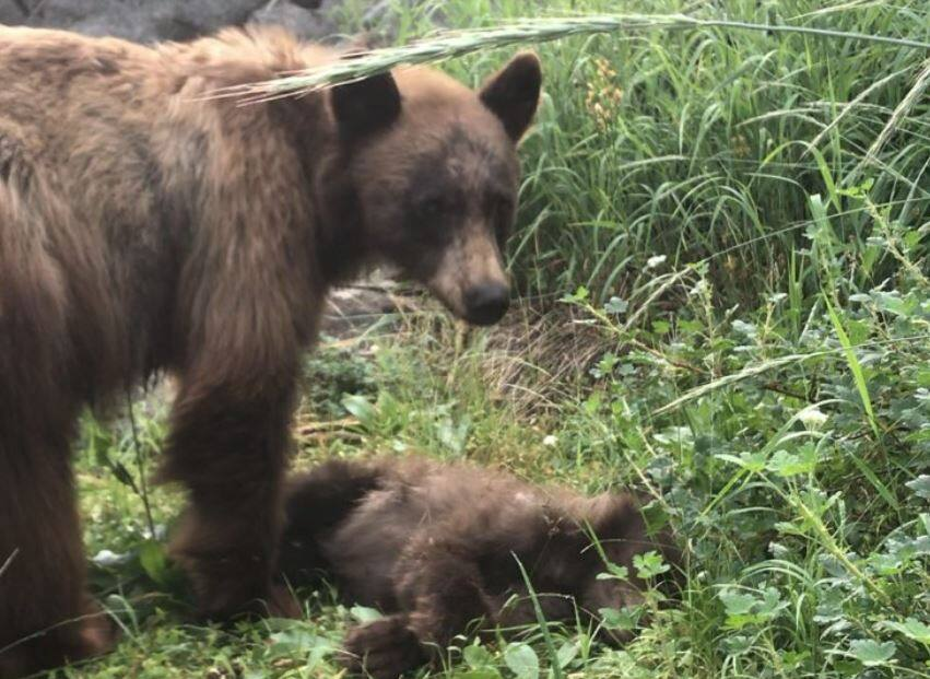 A mother bear stands over the body of her cub, killed by a vehicle in Yosemite National Park. (Yosemite National Park)
