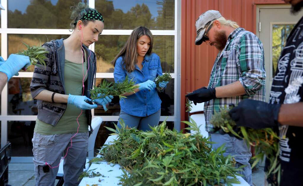 At Justice Grown farm in rural Santa Rosa, Wednesday Sept. 27 2017, from left, Mikayla Crum, Shivawn Brady, Director of Operations at the farm, and Jamie Scott trim up freshly harvested cannabis as the pot harvest gets in to full swing across the north coast. (Kent Porter / The Press Democrat)