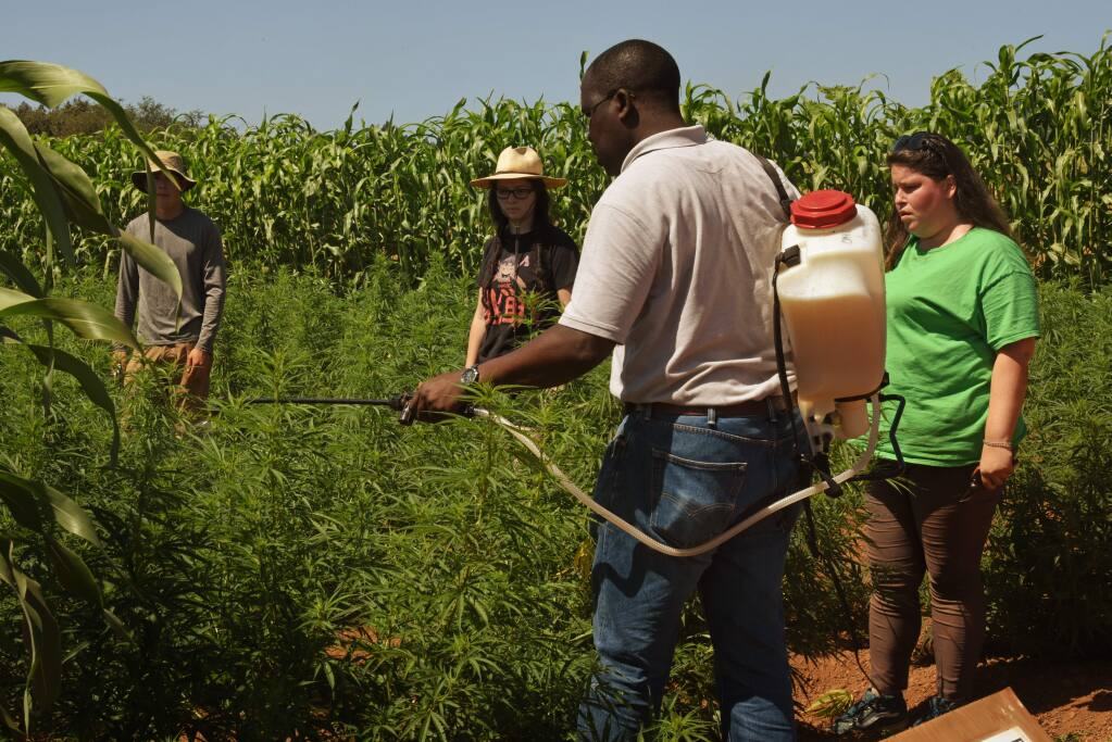 Santa Rosa Junior College instructor George Sellu, left, showing SRJC students, from left, Neil Bledsoe, 25, Clorissa Lepe, 27, and Charlotte Warren, 27, how to properly use organic folia fertilizer on hemp plants at Shone Farm in Forestville, California. The student were given an opportunity to learn some basics about hemp farming at a hemp farm that is part of the SRJC industrial hemp research project. August 29, 2019.(Photo: Erik Castro/for The Press Democrat)