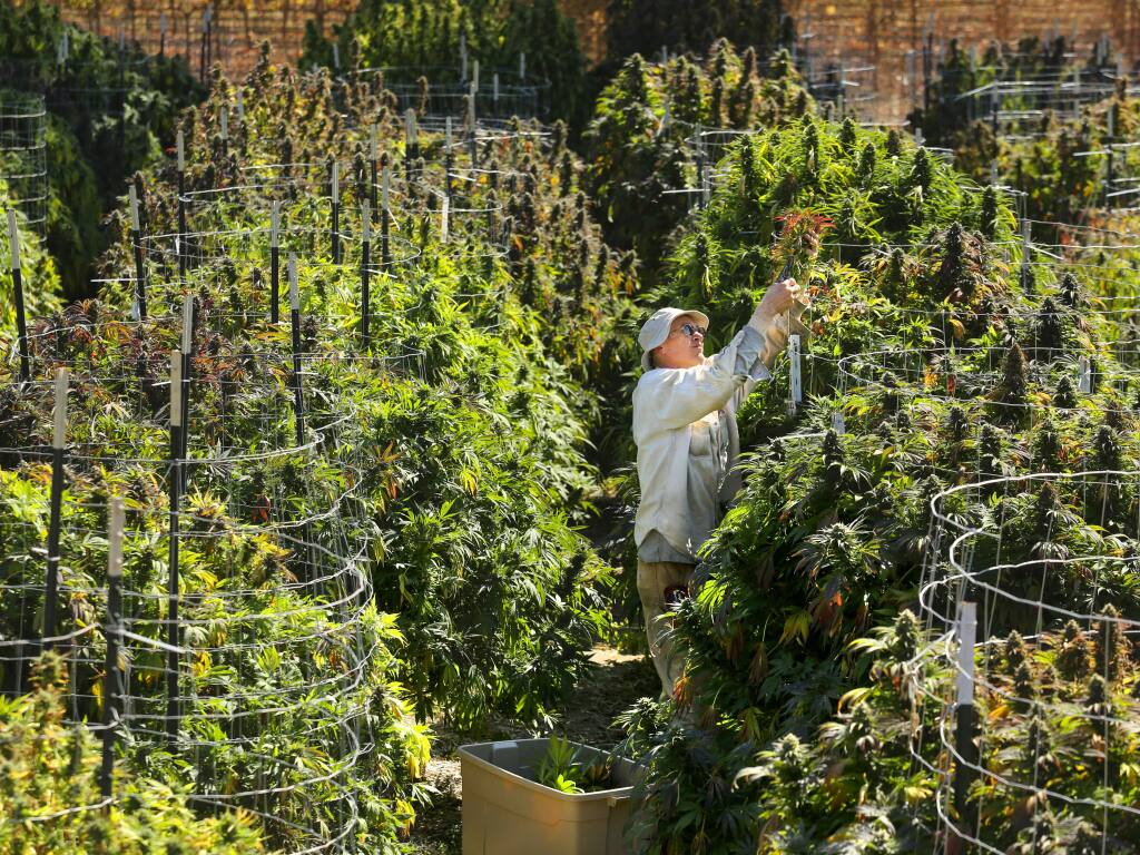 The farm manager for Bay Area Safe Alternatives collective, who chose to keep their employees anonymous, harvests one of the many varieties of organic marijuana growing on their Sonoma County farm in 2016. (JOHN BURGESS/ PD FILE)