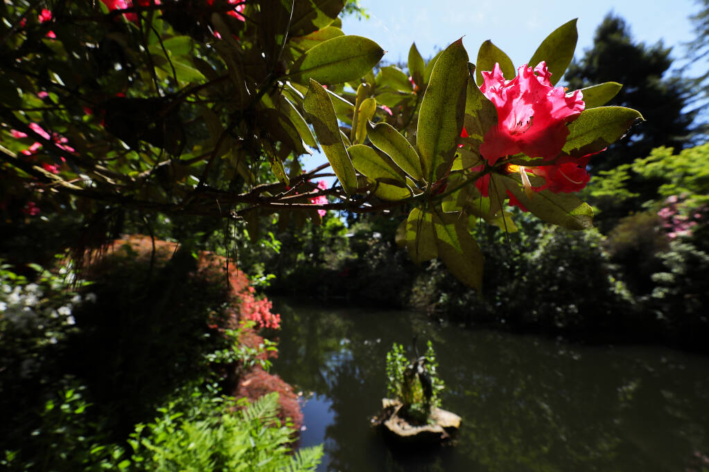 A rhododendron grows along a pond at Hidden Forest Nursery near Sebastopol on Thursday, May 6, 2021.  (Christopher Chung/ The Press Democrat)