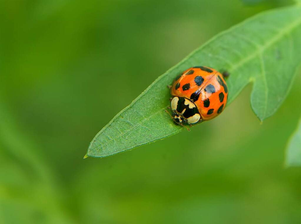 Ladybugs are natural enemies of many insects, especially aphids and other sap feeders. A single lady beetle may eat as many as 5,000 aphids in its lifetime.