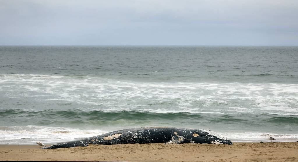 A juvenile gray whale washed ashore on Limantour Beach at Point Reyes National Seashore in Marin County, Friday, May 24, 2019. (Kent Porter / The Press Democrat) 2019