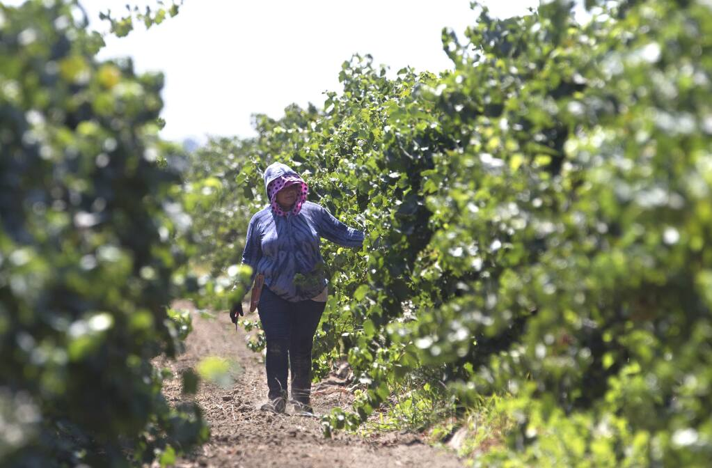 In this photo taken Aug. 17, 2016, a farm worker trims grape vines in a vineyard in Clarksburg, Calif. The state Senate approved AB1066, by Assemblywoman Lorena Gonzalez, D-San Diego, Monday, Aug. 22, 2016, that would require farmworkers to receive overtime after working eight hours. The measure now goes to the Assembly.(AP Photo/Rich Pedroncelli)
