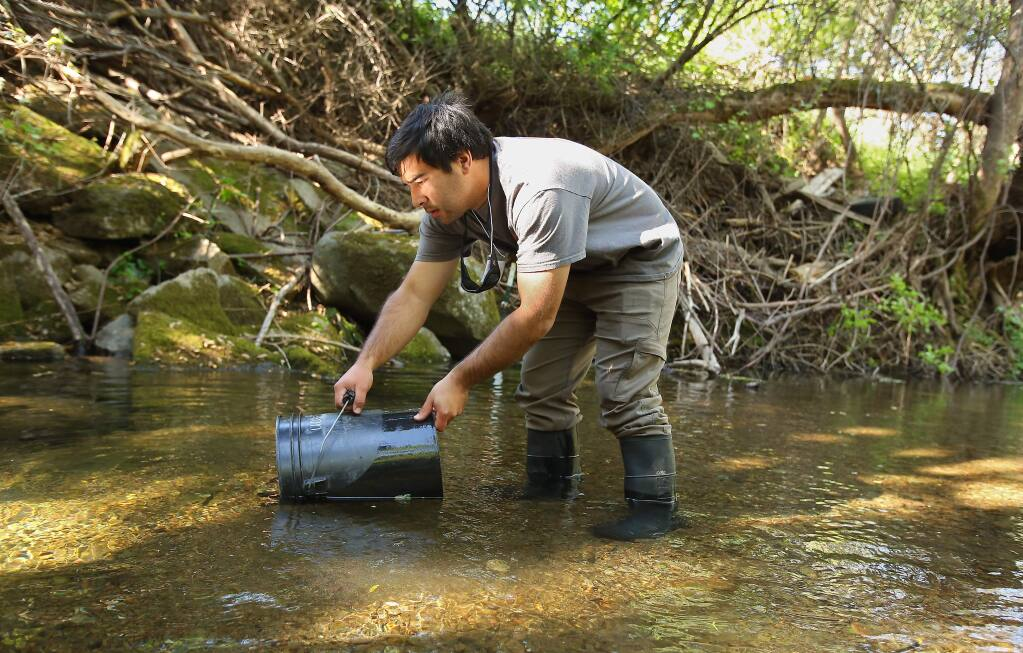 Lab technician Will Boucher, with the University of California Cooperative Extension California Sea Grant, releases Coho Salmon smolt, which were captured in a fish trap for data collection, along Mill Creek, near Healdsburg on Tuesday, April 14, (Christopher Chung/ The Press Democrat)