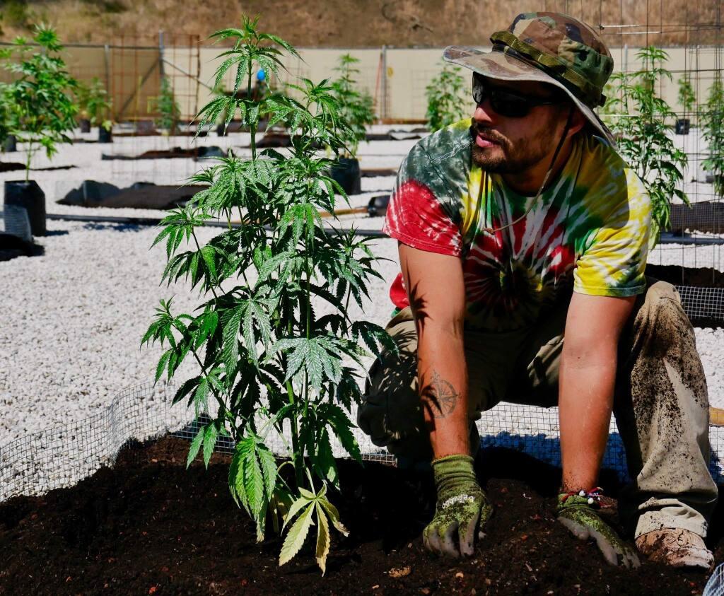 Dar Fox, gardener for Garden of Fumé, which grows cannabis in Lake County (COURTESY OF FUMÉ) June 13, 2018