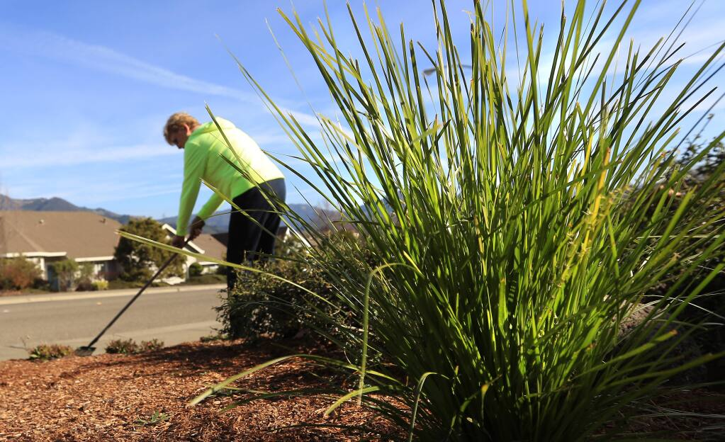 Native drought tolerant grasses were planted in Marianne Neuffeld's lawn rot enlace her water thirsty lawn in Oakmont, Wednesday Jan. 14, 2015. (Kent Porter / Press Democrat) 2015