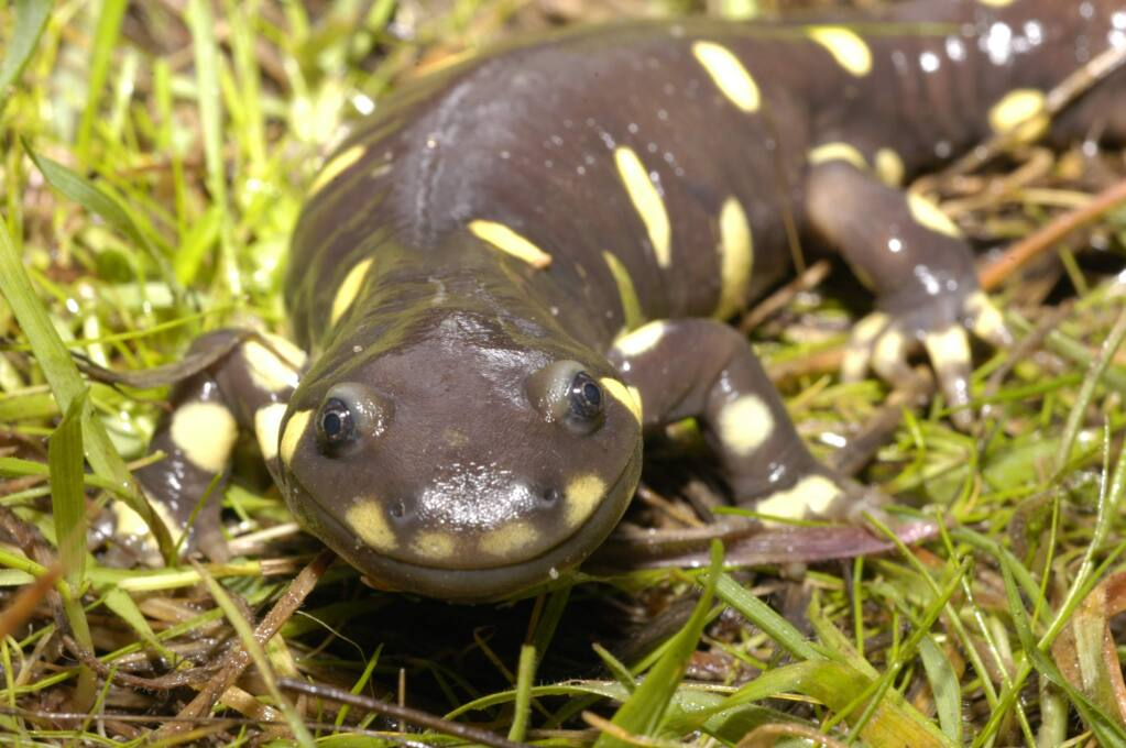 Endangered tiger salamander