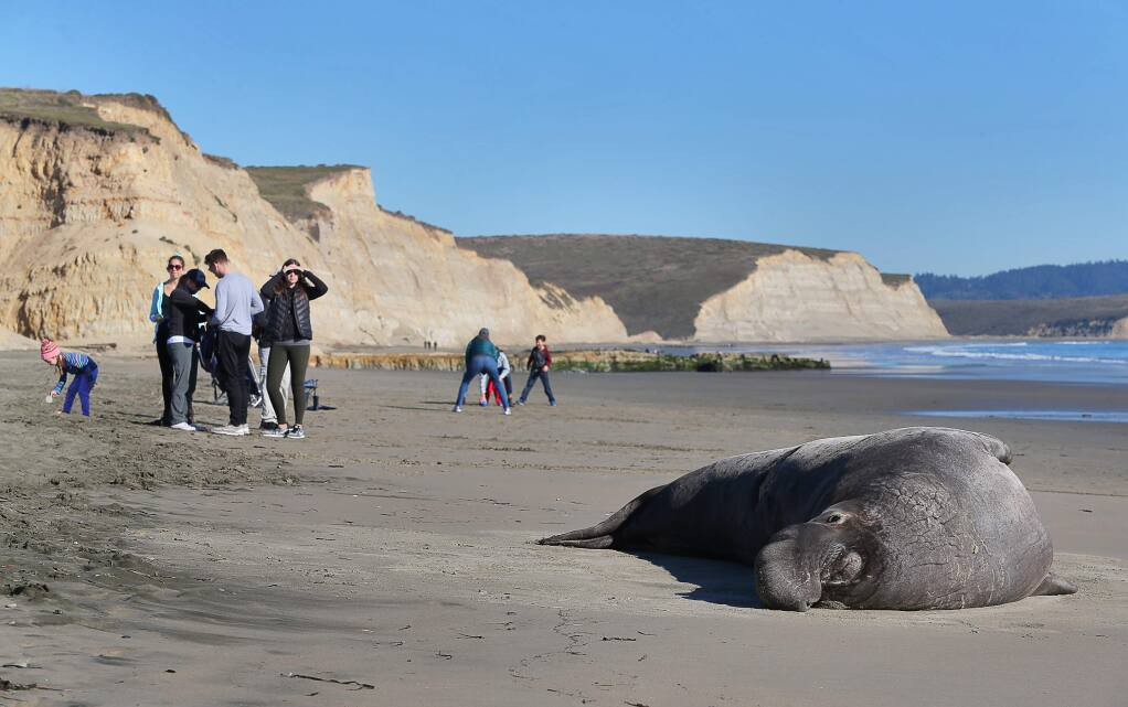 An elephant seal basks in the sun, while visitors enjoy Drakes Beach, at Point Reyes National Seashore on Wednesday, January 2, 2019. (Christopher Chung/ The Press Democrat)