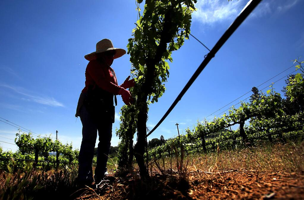 Lupe Alvarez pulls sucker vines from grape vines at Boatique Winery in Kelseyville, Friday, May 13, 2016. (Kent Porter / Press Democrat)