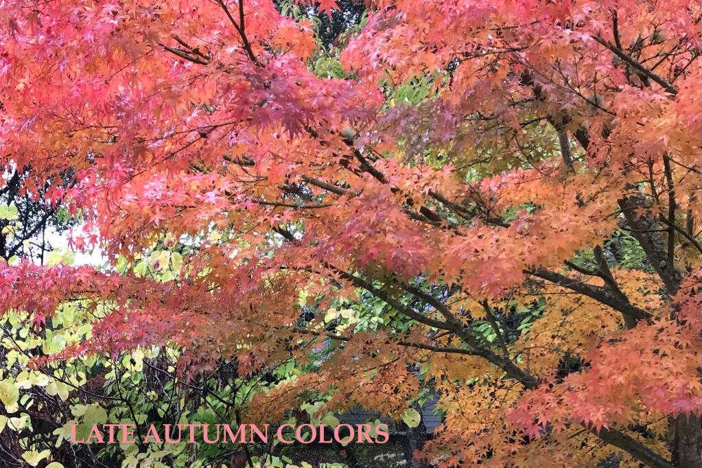 The foliage of many deciduous trees and shrubs glows in the cool breeze with late autumn colors, steadily dropping leaves. One such tree is the Red maple  (Acer sp.).