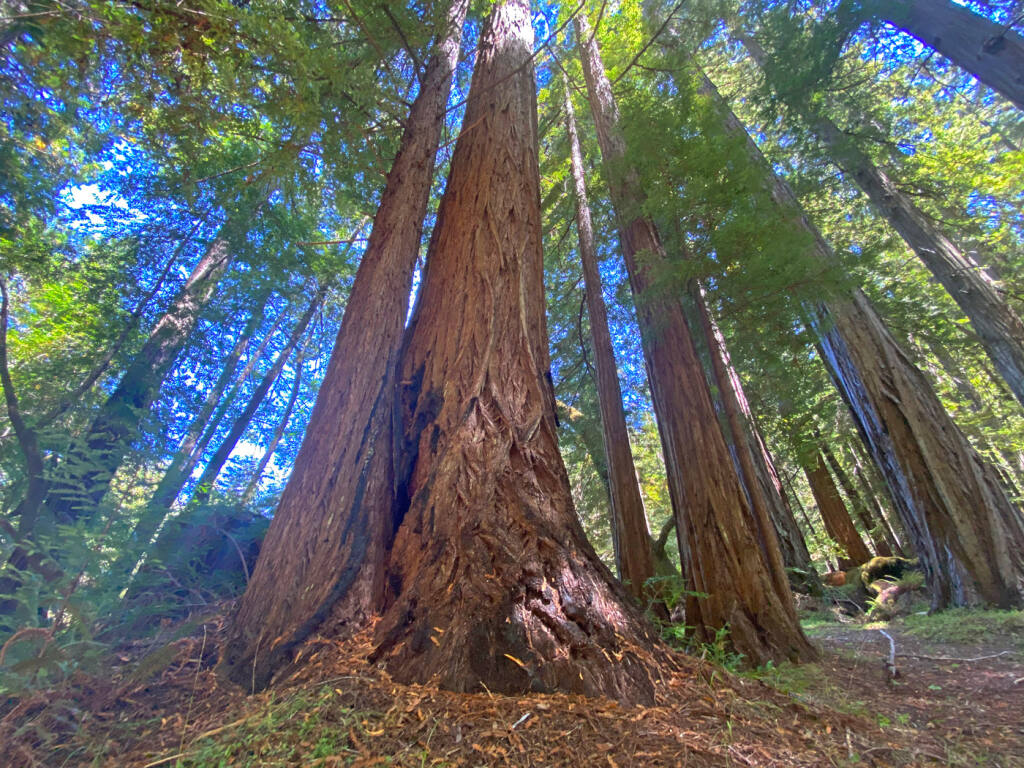 Redwoods in the Cathedral Grove on the Mailliard Ranch in southern Mendocino County. (MARCOS CASTINEIRAS / Save the Redwoods League)