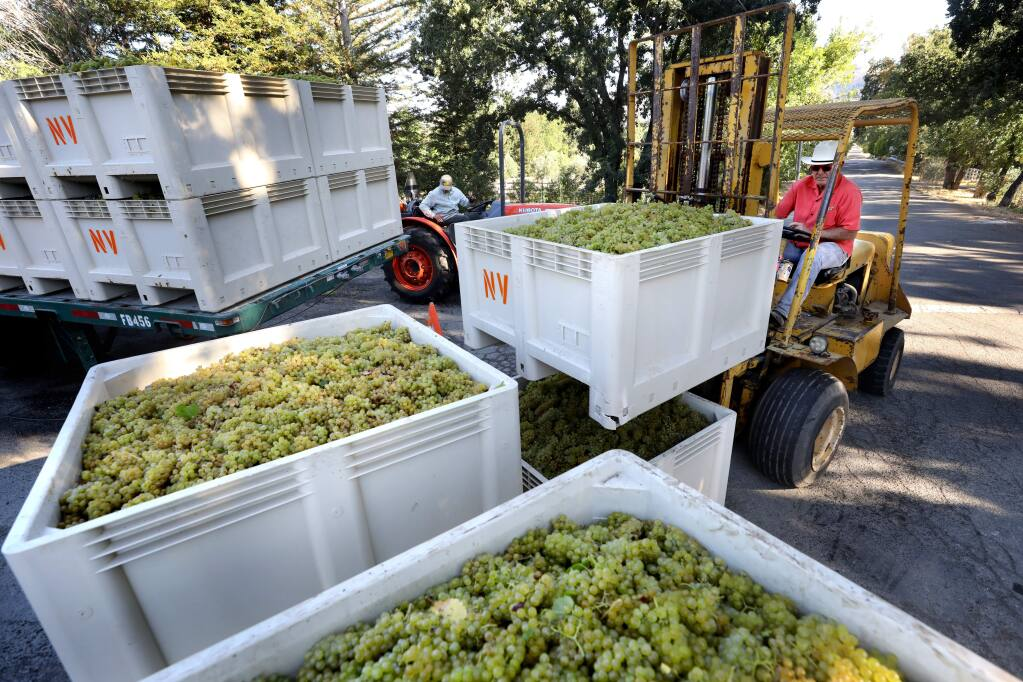 Will Ivancovich, owner of 2 Brothers Vineyards, moves a bin of chardonnay grapes during harvest at his vineyard in Kenwood on Tuesday, September 17, 2019. (BETH SCHLANKER/ The Press Democrat)