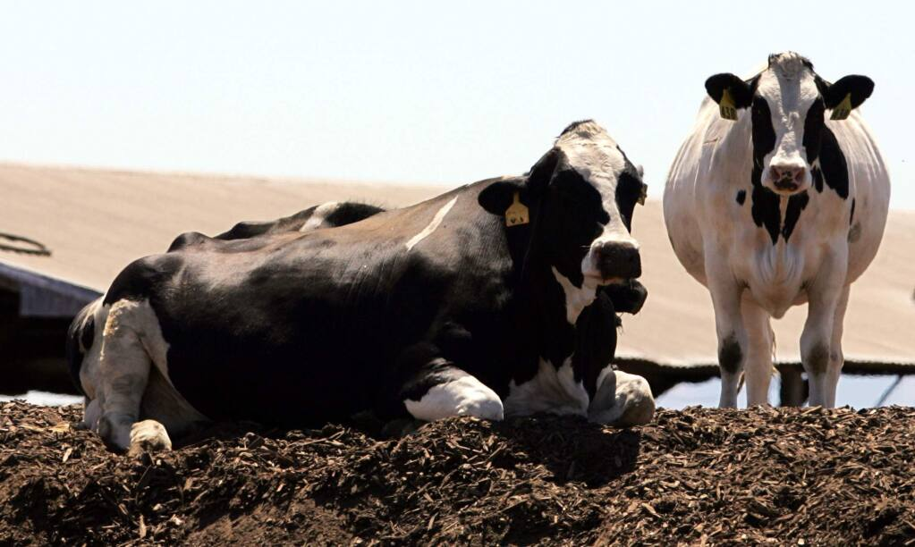 Holstein dairy cows in San Joaquin County. (AP Photo/ Rich Pedroncelli, File)