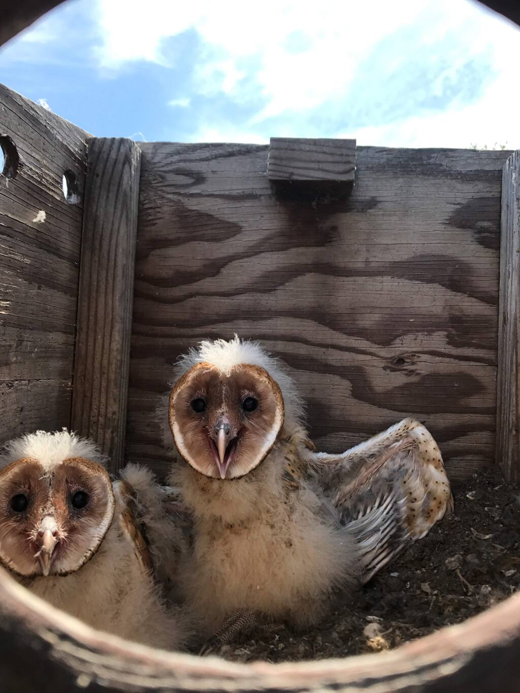 Baby barn owls, found in an unmaintained shelter box, that had fallen off the roof of a barn and was baking in the open sun. (Sonoma County Wildlife Rescue).