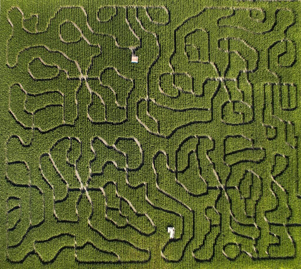 Petaluma Corn Maze (CHAD SURMICK/ PD)