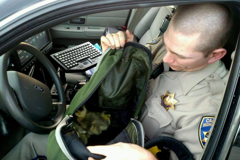 California Highway Patrol Officer Josh Phillips with the baby geese he rescued from the side of Highway 101 near River Road on Saturday, April 16, 2016. (COURTESY OF JON SLOAT/ CHP)
