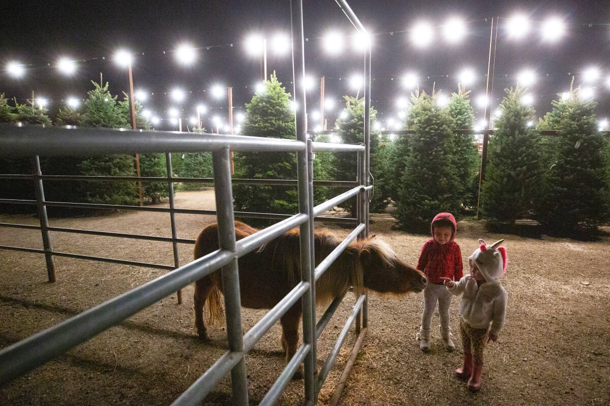Christmas Tree Sales Start With An Early Rush In Sonoma County