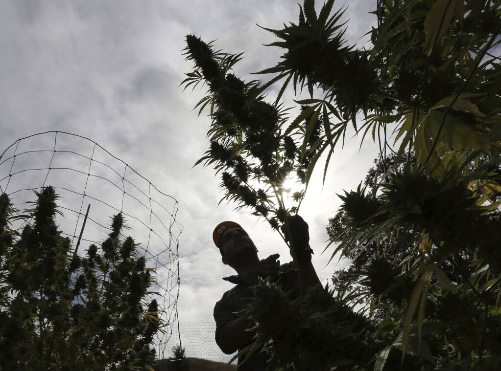 FILE - In this Oct. 12, 2016 file photo, Aaron Gonzalez removes a branch from a marijuana plant on grower Laura Costa's farm near Garberville, Calif. Marijuana is a crop just like beans and broccoli but while it was in the ground all the pot that was harvested this year didn't get the same level of scrutiny as traditional fruits and veggies. So how can the state ensure it's safe from the pesticides, molds and heavy metals other agricultural products are checked for? (AP Photo/Rich Pedroncelli, File)