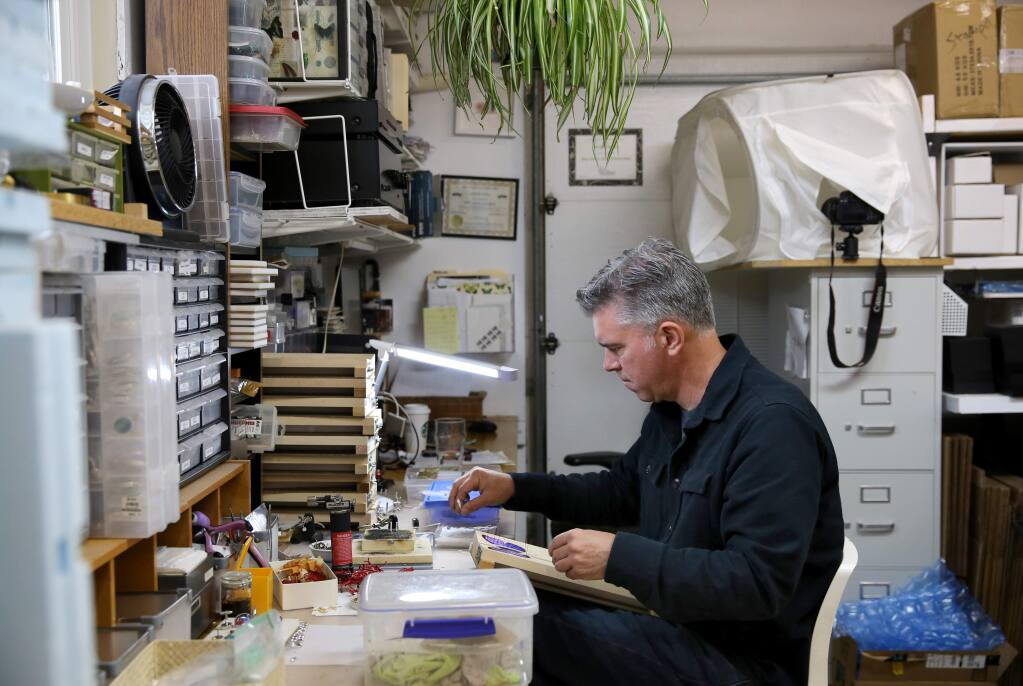 Kevin Clarke, entomologist, artist, and owner of Bug Under Glass, spreads and pins butterflies in his home workshop in Petaluma, California on Wednesday, April 3, 2019. (BETH SCHLANKER/The Press Democrat)