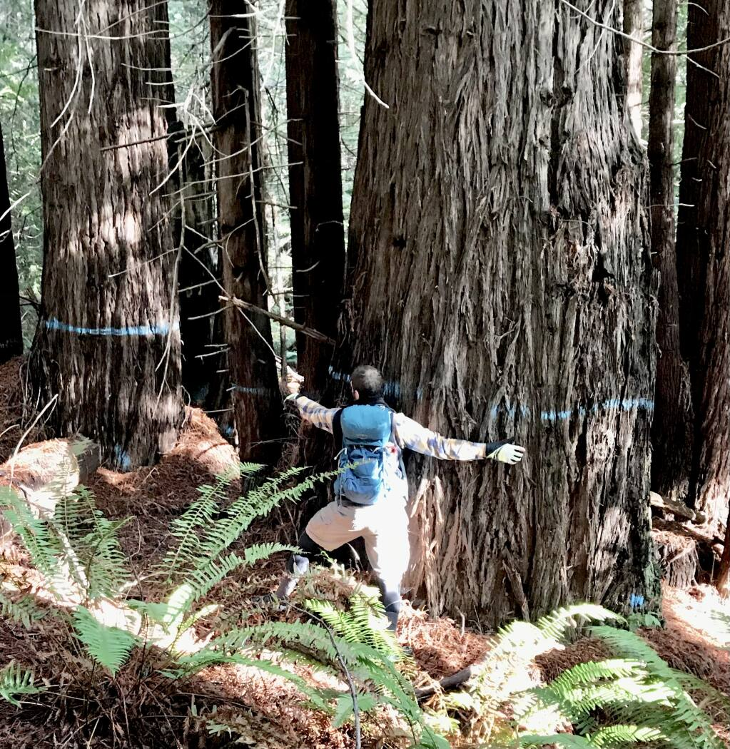 A 77-inch diameter redwood marked to cut in an already approved timber harvest plan about 75 feet from  a popular trail near Caspar. (Mendocino Trail Stewards)