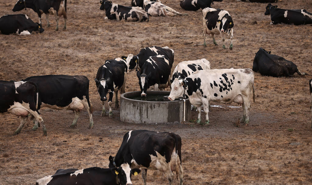 Dairy cows drink up Don DeBernardi's dairy farm, where he's been forced in to trucking in 30,000 gallons of water a day to supply water to his dairy herd. Most of DeBernardi's livestock ponds are dry, Friday, Sept. 10, 2021. (Kent Porter / The Press Democrat) 2021