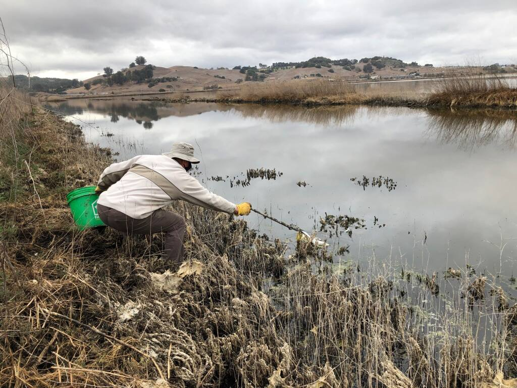 John Shribbs, president of the Petaluma Wetlands Alliance, picks up a piece of plastic from the pond at Shollenberger Park on Friday, Nov. 13. The dredging of the Petaluma River deposited a lot of trash at the park. MATT BROWN/ARGUS-COURIER STAFF