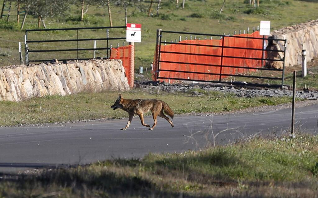 A coyote runs across a road on the 186-acre La Campagna property on Wednesday, January 28, 2015 near Kenwood, California . (BETH SCHLANKER/ The Press Democrat)