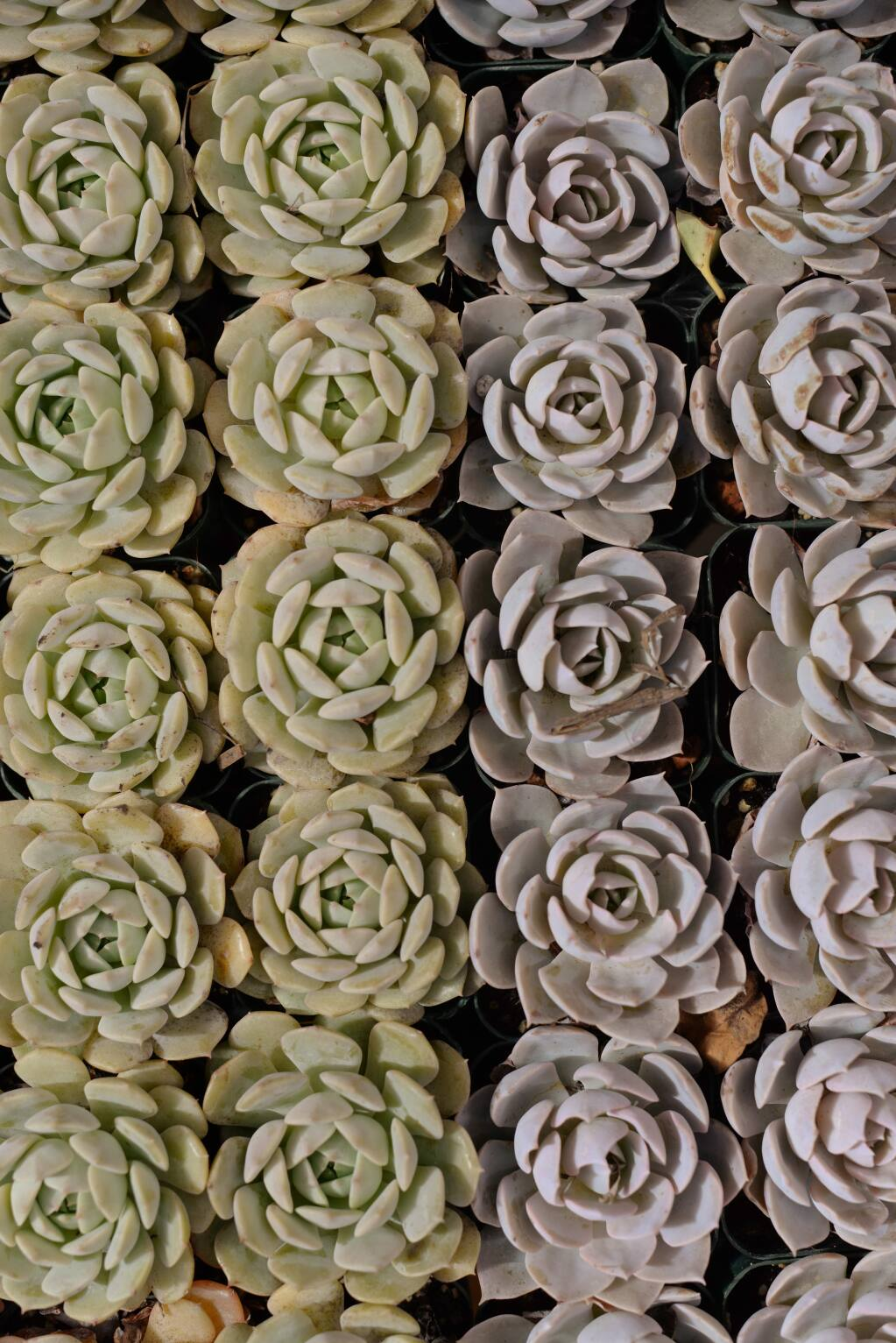 Echeveria succulent plants in the greenhouse at the Sunset Test Gardens at Cornerstone Sonoma on Arnold Drive in Sonoma. May 2, 2016. (Photo: Erik Castro/for The Press Democrat)